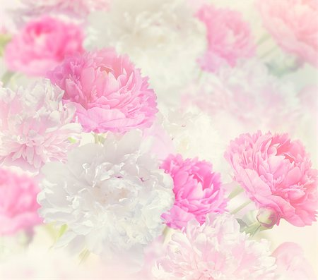 peonies background - Pink and White Peony Flowers for Background Stock Photo - Budget Royalty-Free & Subscription, Code: 400-08414808