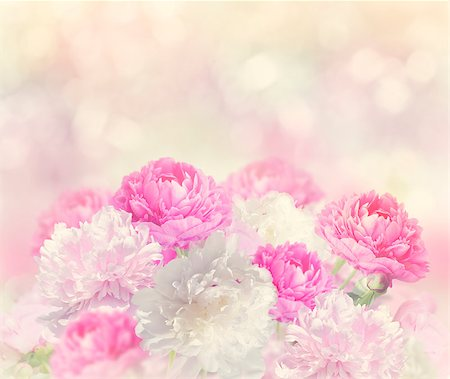 peonies background - Pink and White Peony Flowers Stock Photo - Budget Royalty-Free & Subscription, Code: 400-08414814