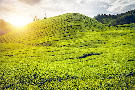 Tea plantation in Cameron highlands, Malaysia Stock Photo - Budget Royalty-Free & Subscription, Code: 400-08426987
