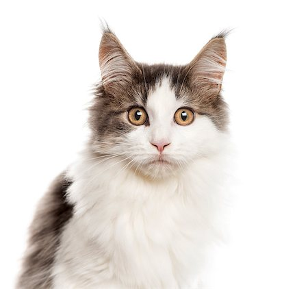 Close up of a Maine Coon looking at the camera, isolated on white Stock Photo - Budget Royalty-Free & Subscription, Code: 400-08529382