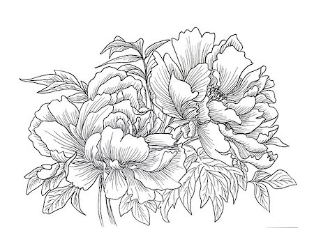 Beautiful hand drawn illustration of peony isolated on white background. Stock Photo - Budget Royalty-Free & Subscription, Code: 400-08572478
