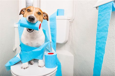 jack russell terrier, sitting on a toilet seat with digestion problems or constipation looking very sad and toilet paper rolls everywhere one  roll in mouth Stock Photo - Budget Royalty-Free & Subscription, Code: 400-08695145