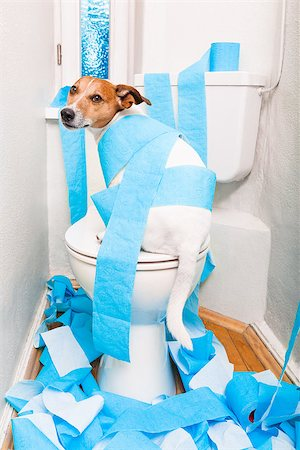 jack russell terrier, sitting on a toilet seat with digestion problems or constipation looking very sad and toilet paper rolls everywhere Stock Photo - Budget Royalty-Free & Subscription, Code: 400-08695146