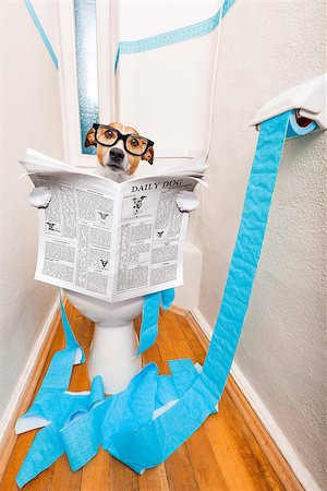 jack russell terrier, sitting on a toilet seat with digestion problems or constipation reading the gossip magazine or newspaper Stock Photo - Budget Royalty-Free & Subscription, Code: 400-08695141
