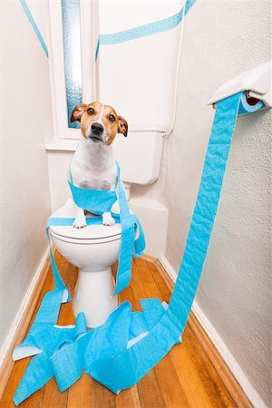 jack russell terrier, sitting on a toilet seat with digestion problems or constipation looking very sad and toilet paper rolls everywhere Stock Photo - Budget Royalty-Free & Subscription, Code: 400-08695142