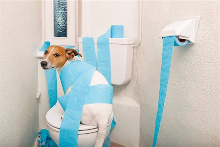 jack russell terrier, sitting on a toilet seat with digestion problems or constipation looking very sad and toilet paper rolls everywhere Stock Photo - Budget Royalty-Free & Subscription, Code: 400-08695296
