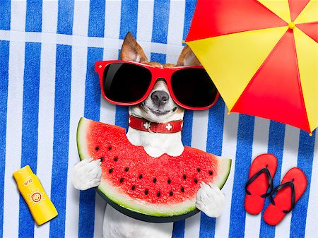 dog in heat - jack russell dog  on towel at the beach relaxing  on summer vacation holidays,  with umbrella,  eating a fresh juicy watermelon Stock Photo - Budget Royalty-Free & Subscription, Code: 400-08695751