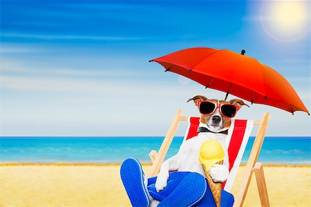 dog in heat - jack russell dog eating ice cream on a cone waffle on a beach chair or hammock with sunglasses on summer  vacation holidays Stock Photo - Budget Royalty-Free & Subscription, Code: 400-08695802
