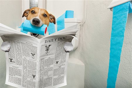 jack russell terrier, sitting on a toilet seat with digestion problems or constipation reading the gossip magazine or newspaper Stock Photo - Budget Royalty-Free & Subscription, Code: 400-08695905