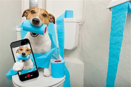 jack russell terrier, sitting on a toilet seat with digestion problems or constipation taking a selfie Stock Photo - Budget Royalty-Free & Subscription, Code: 400-08695906