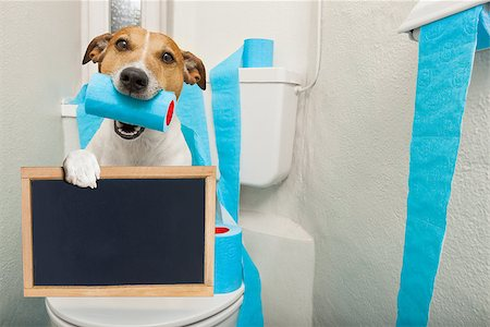 jack russell terrier, sitting on a toilet seat with digestion problems or constipation holding a banner or placard blackboard Stock Photo - Budget Royalty-Free & Subscription, Code: 400-08695907