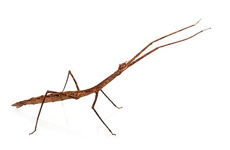 stick insect in front of white background Stock Photo - Budget Royalty-Free & Subscription, Code: 400-08734214