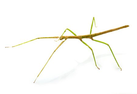 stick insect in front of white background Stock Photo - Budget Royalty-Free & Subscription, Code: 400-08734215