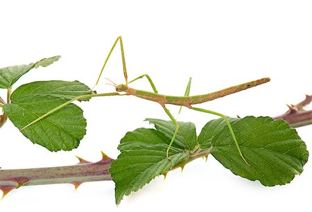 stick insect in front of white background Stock Photo - Budget Royalty-Free & Subscription, Code: 400-08734216