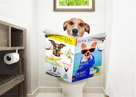 jack russell terrier, sitting on a toilet seat with digestion problems or constipation reading the gossip magazine or newspaper Stock Photo - Budget Royalty-Free & Subscription, Code: 400-08735194