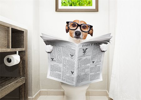 jack russell terrier, sitting on a toilet seat with digestion problems or constipation reading the gossip magazine or newspaper Stock Photo - Budget Royalty-Free & Subscription, Code: 400-08735193