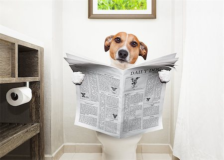 jack russell terrier, sitting on a toilet seat with digestion problems or constipation reading the gossip magazine or newspaper Stock Photo - Budget Royalty-Free & Subscription, Code: 400-08735704