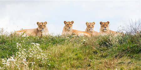 roar lion head picture - Four female lions resting in the fresh grasss Stock Photo - Budget Royalty-Free & Subscription, Code: 400-08730246
