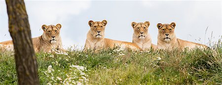 roar lion head picture - Four female lions resting in the fresh grasss Stock Photo - Budget Royalty-Free & Subscription, Code: 400-08730247