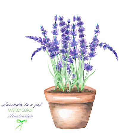 paintings of peonies - An illustration with the lavender flowers in a pot, isolated hand drawn in a watercolor on a white background Stock Photo - Budget Royalty-Free & Subscription, Code: 400-08730341
