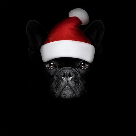 french bulldog  dog  dressed as santa claus with hat for christmas holidays isolated on black dark dramatic background Stock Photo - Budget Royalty-Free & Subscription, Code: 400-08778143
