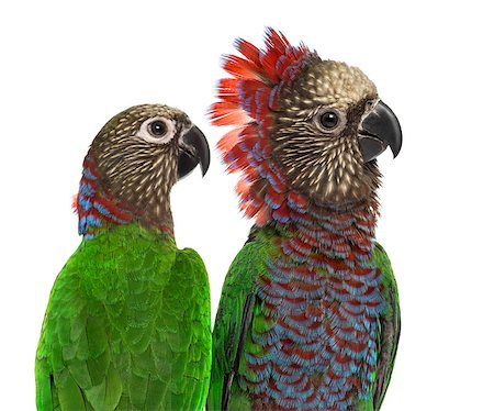 people mating - Close-up of a Couple of Red-fan parrot Deroptyus accipitrinus, isolated on white Stock Photo - Budget Royalty-Free & Subscription, Code: 400-08772604