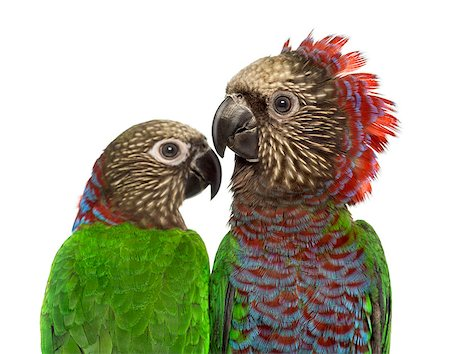people mating - Couple of Red-fan parrot Deroptyus accipitrinus isolated on white Stock Photo - Budget Royalty-Free & Subscription, Code: 400-08772603