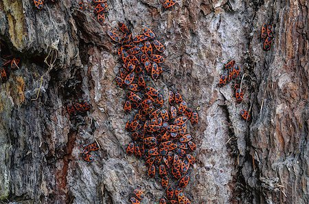 people mating - Man-faced bugs on a old larch bark Stock Photo - Budget Royalty-Free & Subscription, Code: 400-08772984