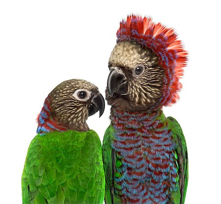 people mating - Close-up of a Couple of Red-fan parrot Deroptyus accipitrinus, isolated on white Stock Photo - Budget Royalty-Free & Subscription, Code: 400-08788332