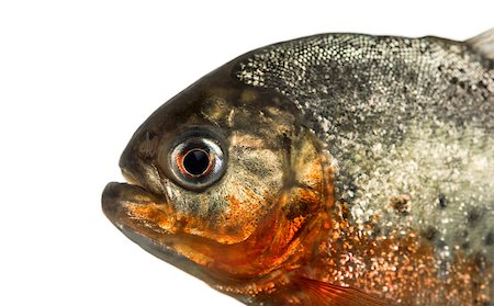 piranha fish - Close up of a red pirahna isolated on white Stock Photo - Budget Royalty-Free & Subscription, Code: 400-08861337