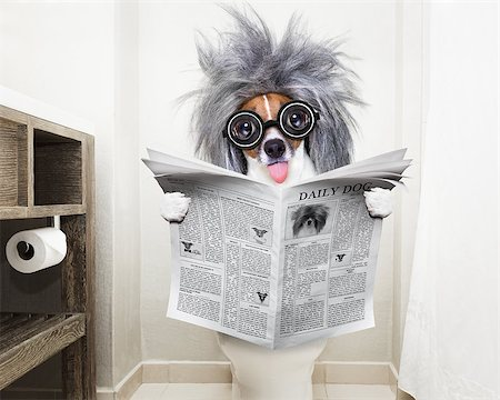 smart dumb  jack russell terrier, sitting on a toilet seat with digestion problems or constipation reading the gossip magazine or newspaper Stock Photo - Budget Royalty-Free & Subscription, Code: 400-08899226
