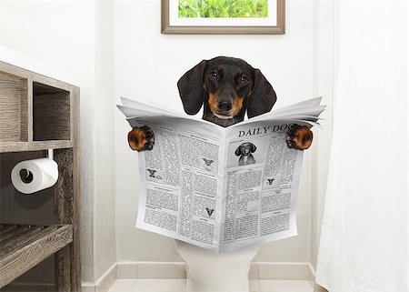 dachshund or sausage dog, sitting on a toilet seat with digestion problems or constipation reading the gossip magazine or newspaper Stock Photo - Budget Royalty-Free & Subscription, Code: 400-08899672
