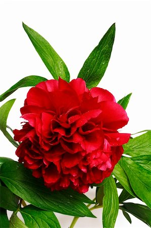 peony backgrounds - Red peony (paeoni, latin name Paeoniaceae) isolated on a white background Stock Photo - Budget Royalty-Free & Subscription, Code: 400-03911175