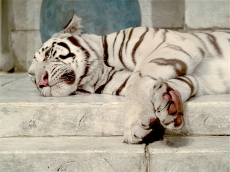 White tiger lying down Stock Photo - Budget Royalty-Free & Subscription, Code: 400-03928189