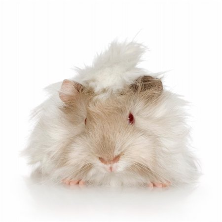 Lilac peruvian guinea pig against a white background Stock Photo - Budget Royalty-Free & Subscription, Code: 400-03922639