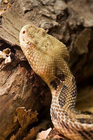 snake skin - Timber Rattlesnake Crotalus horridus Stock Photo - Budget Royalty-Free & Subscription, Code: 400-03930147
