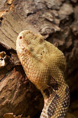 snake skin - Timber Rattlesnake Crotalus horridus Stock Photo - Budget Royalty-Free & Subscription, Code: 400-03930148