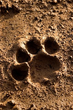 lion footprint in mud Stock Photo - Budget Royalty-Free & Subscription, Code: 400-03931916