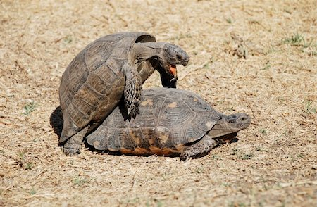 people mating - Couple of turtles making love in the centre of Athens, Greece Stock Photo - Budget Royalty-Free & Subscription, Code: 400-03946889