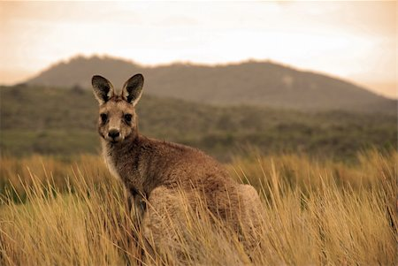 Wild kangaroo in outback Stock Photo - Budget Royalty-Free & Subscription, Code: 400-03947083