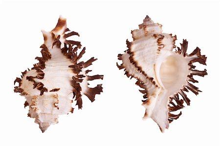 Murex Seashells isolated on white background Stock Photo - Budget Royalty-Free & Subscription, Code: 400-03950010