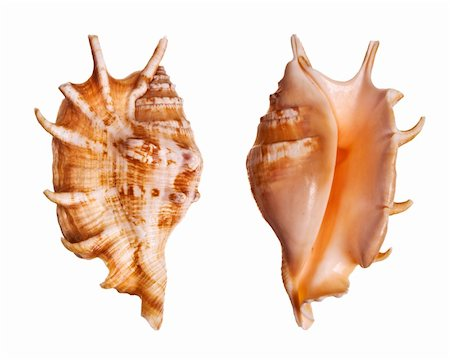 Lambis Seashells isolated on white background Stock Photo - Budget Royalty-Free & Subscription, Code: 400-03950020