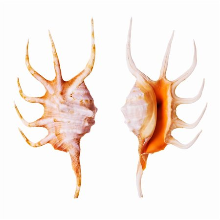 Orange Spider Conch shells isolated on white background Stock Photo - Budget Royalty-Free & Subscription, Code: 400-03950034