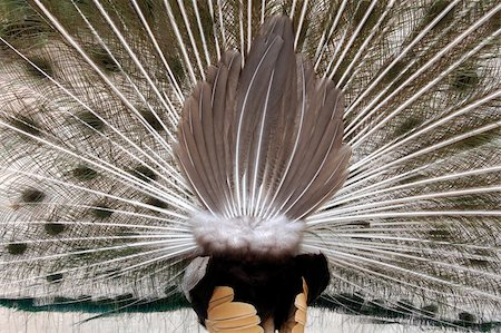 peacock's butt Stock Photo - Budget Royalty-Free & Subscription, Code: 400-03964268