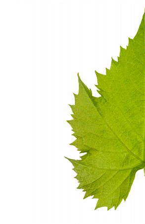 Green grape leaf isolated on white Stock Photo - Budget Royalty-Free & Subscription, Code: 400-03966434