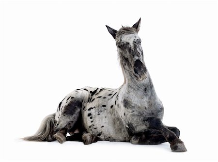 Appaloosa horse in front of a white background Stock Photo - Budget Royalty-Free & Subscription, Code: 400-03997634