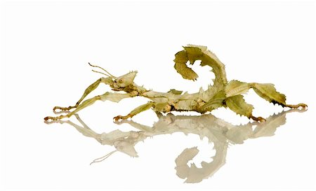 stick insect, Phasmatodea - Extatosoma tiaratum in front of a white backgroung Stock Photo - Budget Royalty-Free & Subscription, Code: 400-03997774