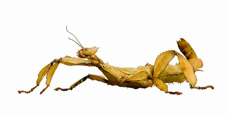 stick insect, Phasmatodea - Extatosoma tiaratum in front of a white backgroung Stock Photo - Budget Royalty-Free & Subscription, Code: 400-03997775