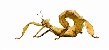 stick insect, Phasmatodea - Extatosoma tiaratum in front of a white backgroung Stock Photo - Budget Royalty-Free & Subscription, Code: 400-03997778
