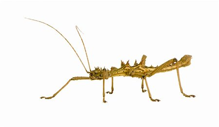 stick insect, Phasmatodea - Aretaon Asperrimus in front of a white backgroung Stock Photo - Budget Royalty-Free & Subscription, Code: 400-03997779